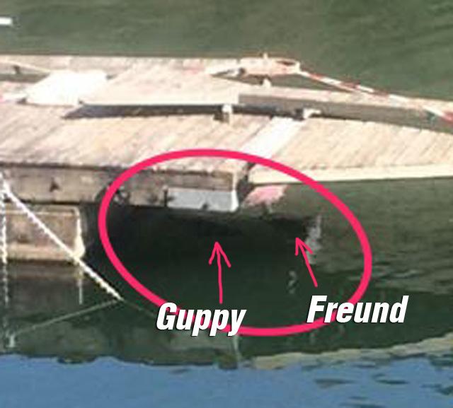 finde guppy detail